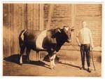 Vor 1928: Der Schweizer war für das Milchvieh zuständig und musste nicht aus der Schweiz stammen. Auf dem Foto ist der Schweizer des Ackerhofes Achilles mit dem Deckbullen um 1928 zu sehen
